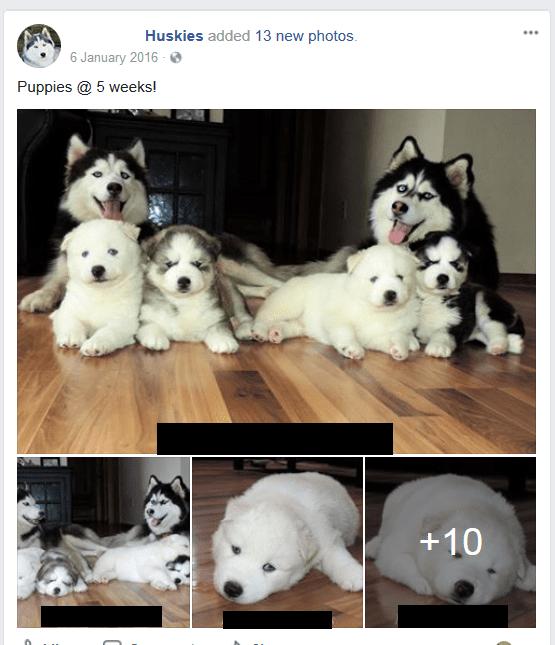 husky-breeder.png
