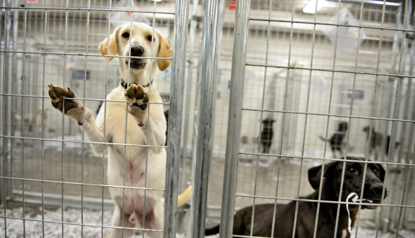 labs in kennel
