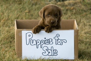 Puppy with for sale sign